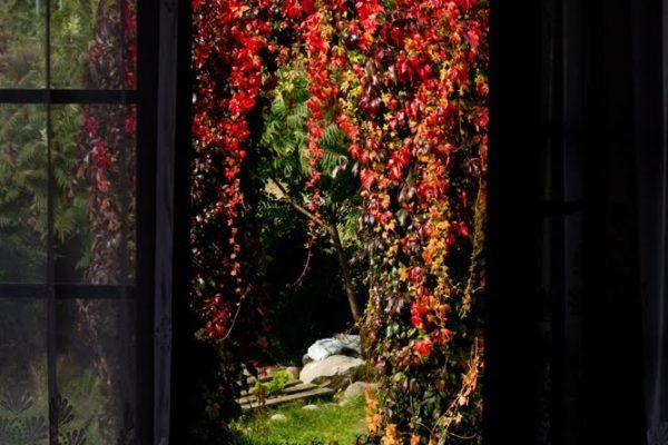 IMG_7503 jesienny bluszcz zmn